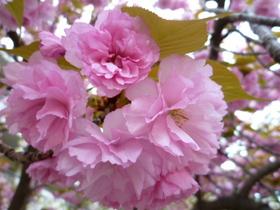 桜 023.jpg