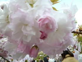 桜 018.jpg